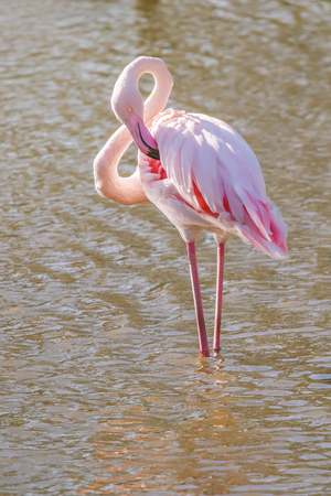 Pink Flamingo, Greater flamingo in their natural environment (Phoenicopterus roseus)