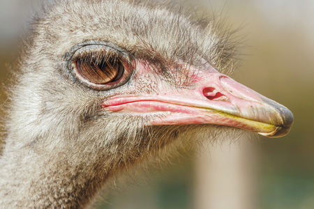 Ostrich Close up portrait, Close up ostrich head (Struthio camelus) Фото со стока