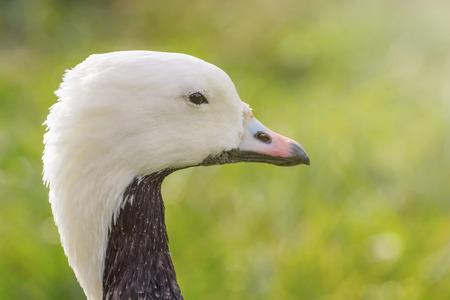 Emperor Goose Close up portrait (Anser canagicus) 版權商用圖片