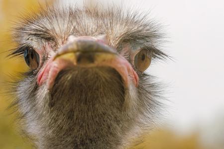 Autruche Close up portrait, Close up tête d'autruche (Struthio camelus)