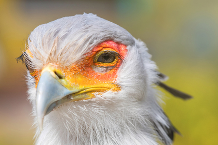 Secretarybird Close up portrait, African bird of prey (Sagittarius serpentarius) Фото со стока - 114891706