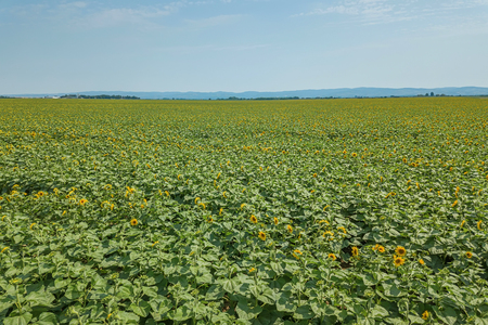 Field of blooming sunflowers. Sunflowers Field Aerial.