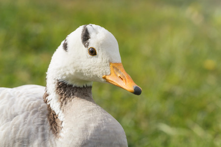 Bar headed goose Close up portrait (Anser indicus)