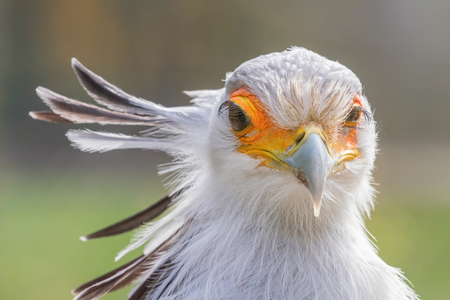 Secretarybird Close up portrait, African bird of prey (Sagittarius serpentarius) 版權商用圖片 - 114893073