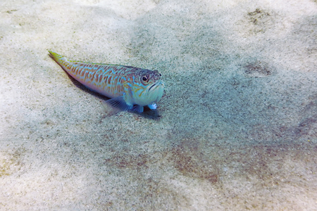 Greater weever on sandy sea floor (Trachinus draco) Foto de archivo