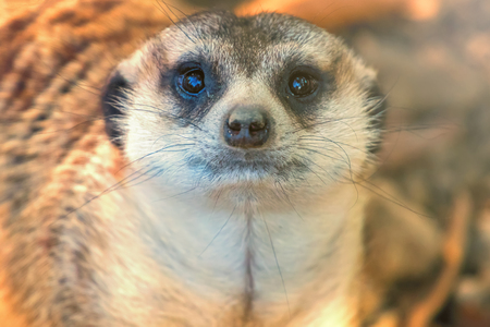 Meerkat Portrait Close Up (Suricata suricatta)
