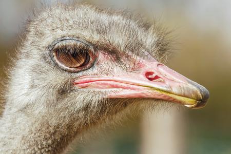 Ostrich Close up portrait, Close up ostrich head (Struthio camelus) 版權商用圖片 - 114894244