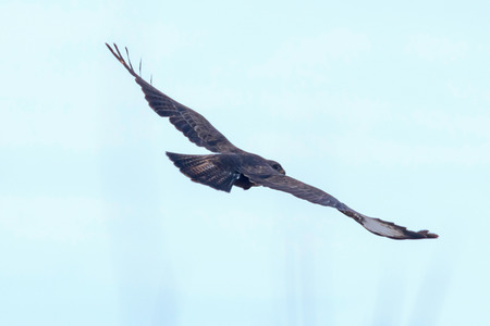 Common Buzzard (Buteo buteo) in flight, back view