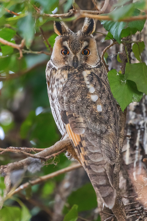 Long eared owl sitting on a tree (Asio otus)