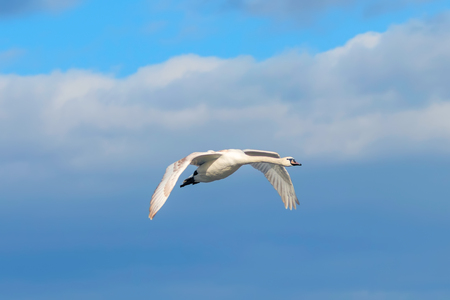 Swan in flight blue sky (Cygnus olor)