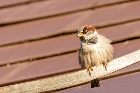 House Sparrow sitting on the roof top 免版税图像 - 118087536