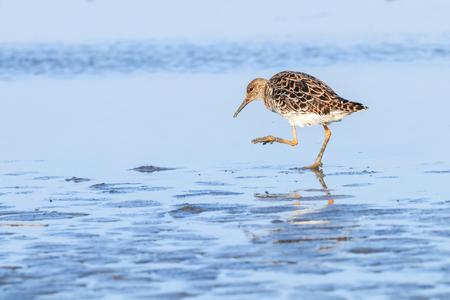 Ruff water bird (Philomachus pugnax) Ruff in water Stock Photo
