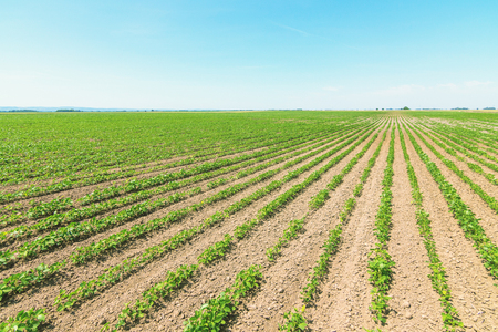Campo di soia a maturazione verde. Righe di soia verde. Piantagione di soia. Archivio Fotografico