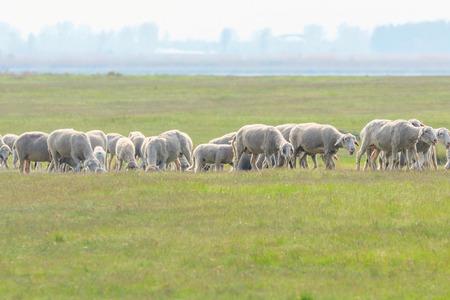 Flock of sheep, sheep on field