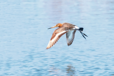 Black Tailed Godwit (Limosa limosa) Wader Birds in Flight