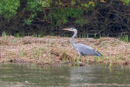 The Hunting Grey Heron (Ardea cinerea) Grey Heron Waters Edge 版權商用圖片