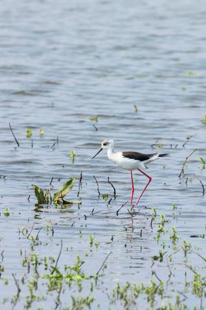 Black-Winged Stilt in Shallow Water (Himantopus himantopus) Wader Bird Stilt Stock Photo