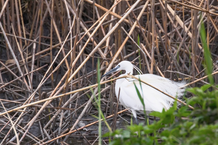 Little Egret Hunting (Egretta garzetta) White little Egret