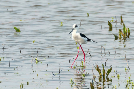 Black-Winged Stilt in Shallow Water (Himantopus himantopus) Wader Bird Stilt 版權商用圖片