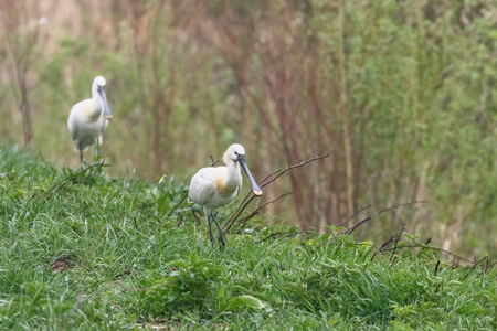 Group of Eurasian Spoonbills (Platalea leucorodia) Common Spoonbills 版權商用圖片