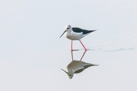 Black-Winged Stilt in Shallow Water Reflection (Himantopus himantopus) Wader Bird Stilt Stock Photo