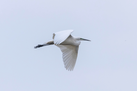 Great Egret Flying (Ardea alba) Great White Egret 版權商用圖片