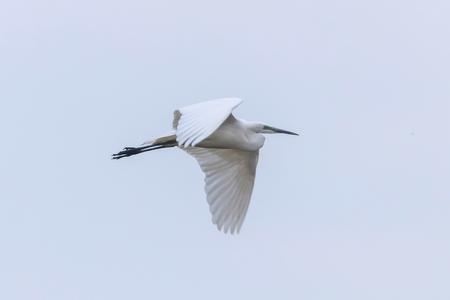 Great Egret Flying (Ardea alba) Great White Egret Stock Photo
