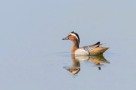 Garganey Duck on Water (Anas querquedula) Garganey Male Wildlife