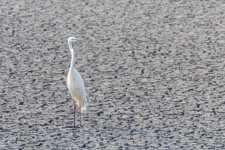 Great Egret Standing on Dry Pond (Ardea alba) Great White Egret, Common Egret Stock Photo