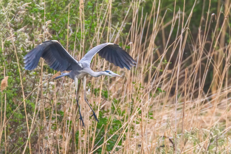 Grey Heron landing (ardea herodias) Grey Headed Heron