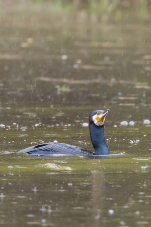Cormorant Fishing Rain (Phalacrocorax carbo) Rainstorm Cormorant