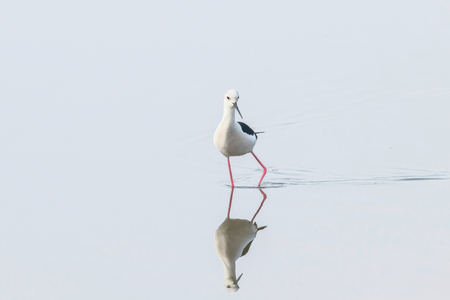 Black-Winged Stilt in Shallow Water Reflection (Himantopus himantopus) Wader Bird Stilt 版權商用圖片