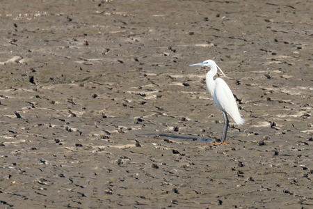Little Egret Standing on Dry Pond (Egretta garzetta)