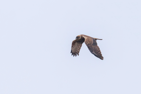 Western Marsh Harrier in flight (Circus Aeruginosus) Stock Photo