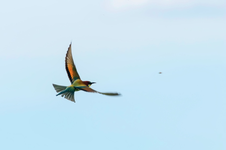 European Bee-Eater In Flight (Merops Apiaster) Stock Photo