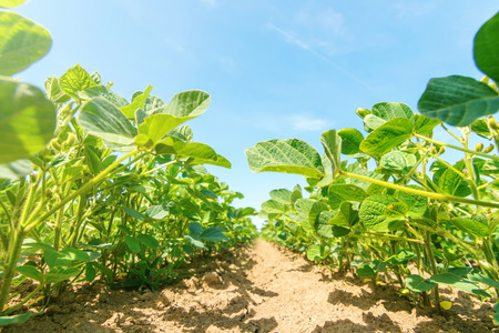Young green soy plants with large leaves grow in the field. Stock Photo