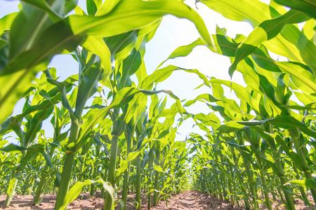 Green corn growing on the field. Green Corn Plants.