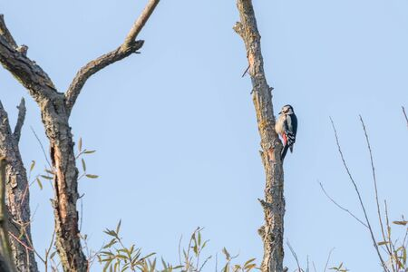 Great Spotted Woodpecker on tree (Dendrocopos major) 스톡 콘텐츠