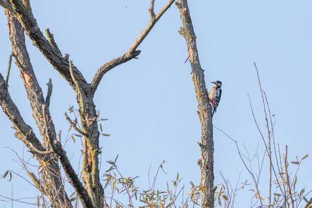Great Spotted Woodpecker on tree (Dendrocopos major) Reklamní fotografie