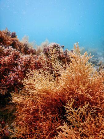 Bos van zeewier, zeewier onderwater, onderwaterscène