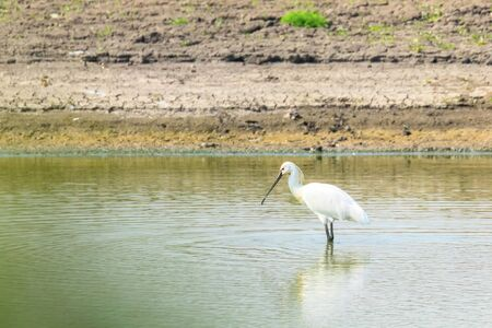 Eurasian Spoonbill standing in the shallow water (Platalea leucorodia) Common Spoonbill