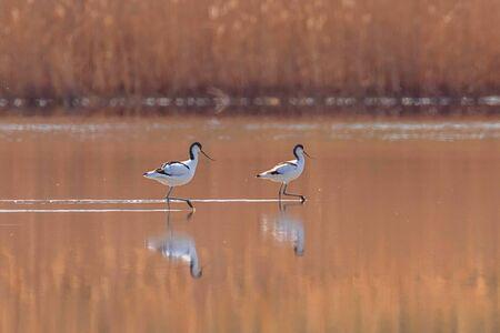 Avocette pie dans l'eau à la recherche de nourriture (Recurvirostra avosetta) Oiseau échassier noir et blanc Banque d'images