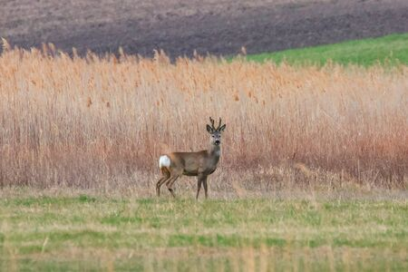 Wild Roe Deer Buck in a field 版權商用圖片 - 126979353