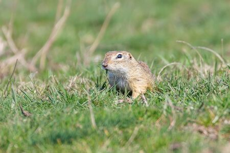 European ground squirrel, Souslik (Spermophilus citellus) natural environment