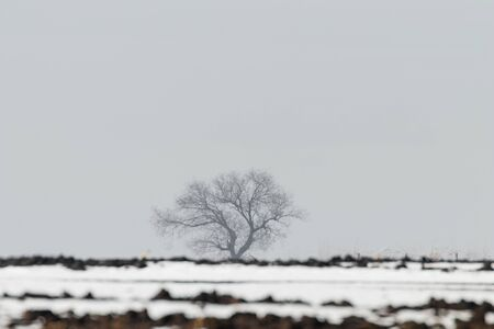 Lonely tree standing on a field with snow Winter landscape.