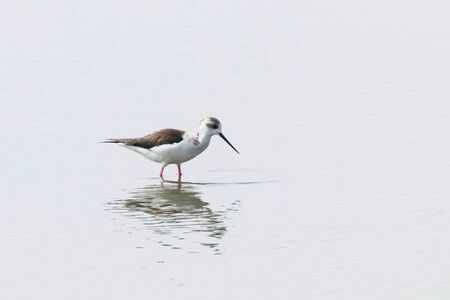 Black-Winged Stilt in Shallow Water Reflection (Himantopus himantopus) Wader Bird Stilt Reklamní fotografie