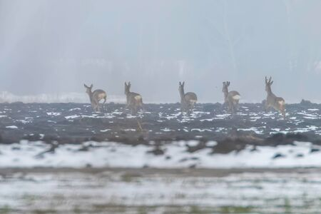 Roe Deer herd in winter morning (Capreolus capreolus) 版權商用圖片