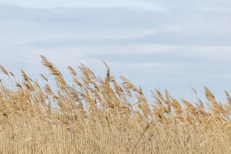 Common reed, Dry reeds, blue sky, (Phragmites australis)
