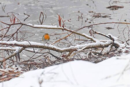 Cute bird European Robin, Roodborst white snow and frozen pond.