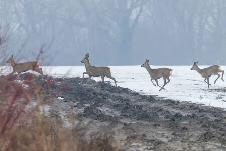 Roe Deer herd in winter morning (Capreolus capreolus) Stock Photo